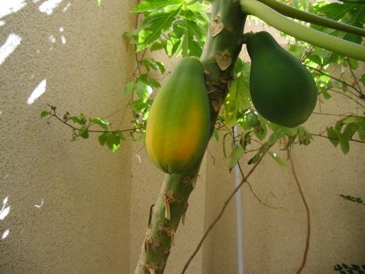 Plantar Papaya